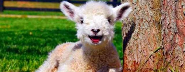 Cute little lamb