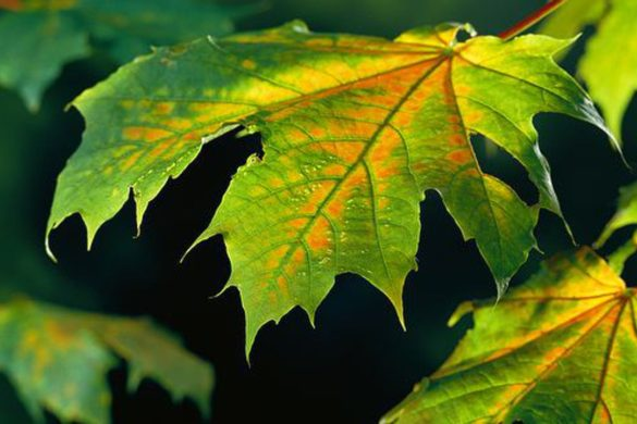 Sycamore leave changing color